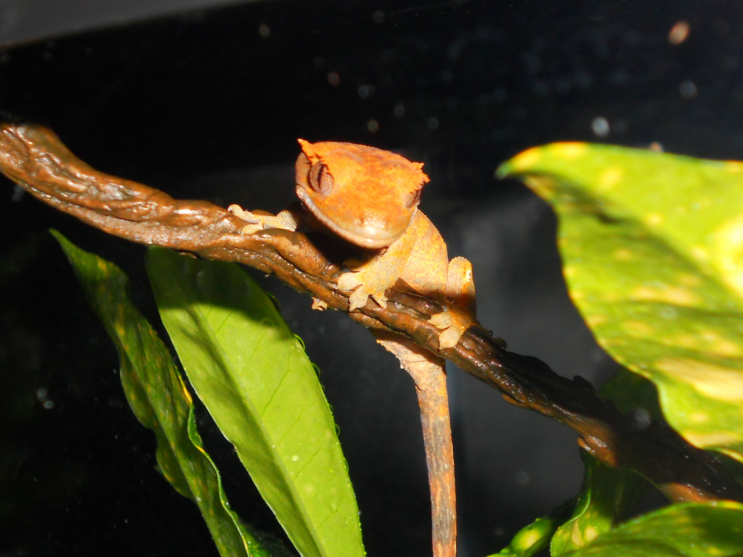 Reptiles Images Skeeter Crested Gecko Hd Wallpaper And