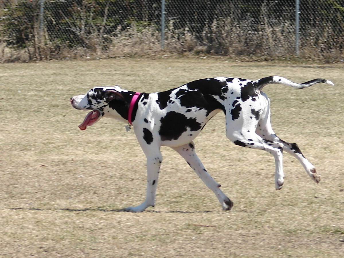 Great danes images the beautiful great dane hd wallpaper and