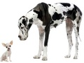 The Beautiful Great Dane - great-danes wallpaper