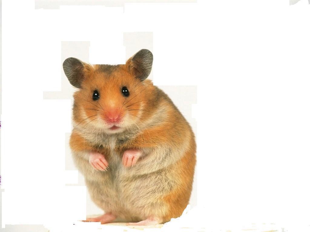 hamster videos