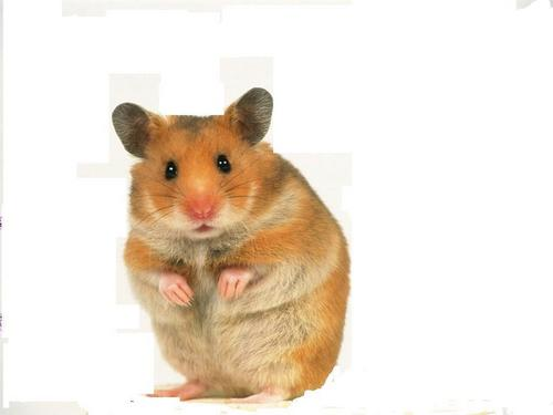 cute hamster - hamsters Wallpaper