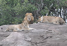 Lions پیپر وال entitled Lions and Lionesses