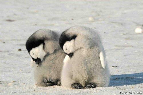 pinguïn Chicks!