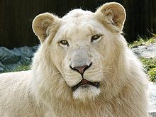 Lions Hintergrund entitled White Lion