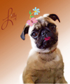 all dressed up - pugs photo