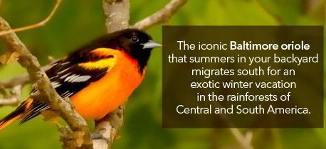 Human Rights and the Environment - Baltimore Oriole