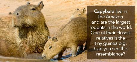 Human Rights and the Environment - Capybara