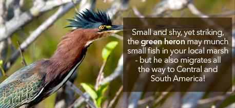 Human Rights and the Environment - Green heron, kingoyo