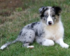 Border Collie, Border Collie, Border Collie Hintergrund Titled Blue Merle  Pup