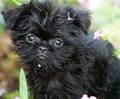 Affenpinscher - all-small-dogs photo