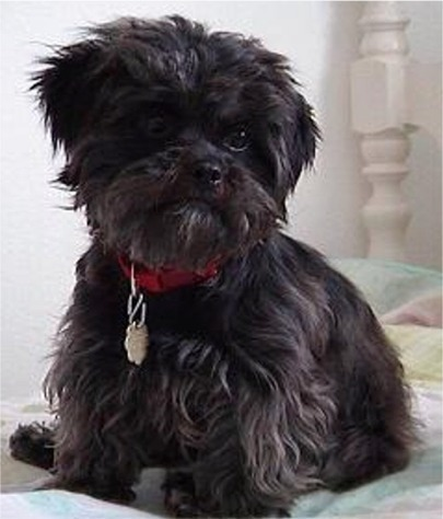 All Small Dogs wallpaper entitled Affenpinscher