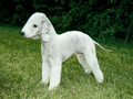 Bedlington Terrier - all-small-dogs photo