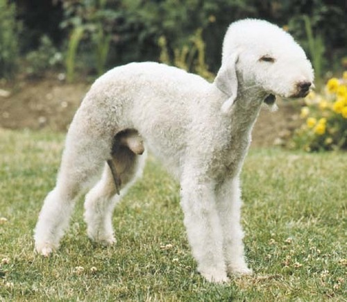All Small Dogs wallpaper called Bedlington Terrier