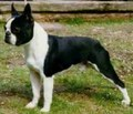 Boston Terrier - all-small-dogs photo
