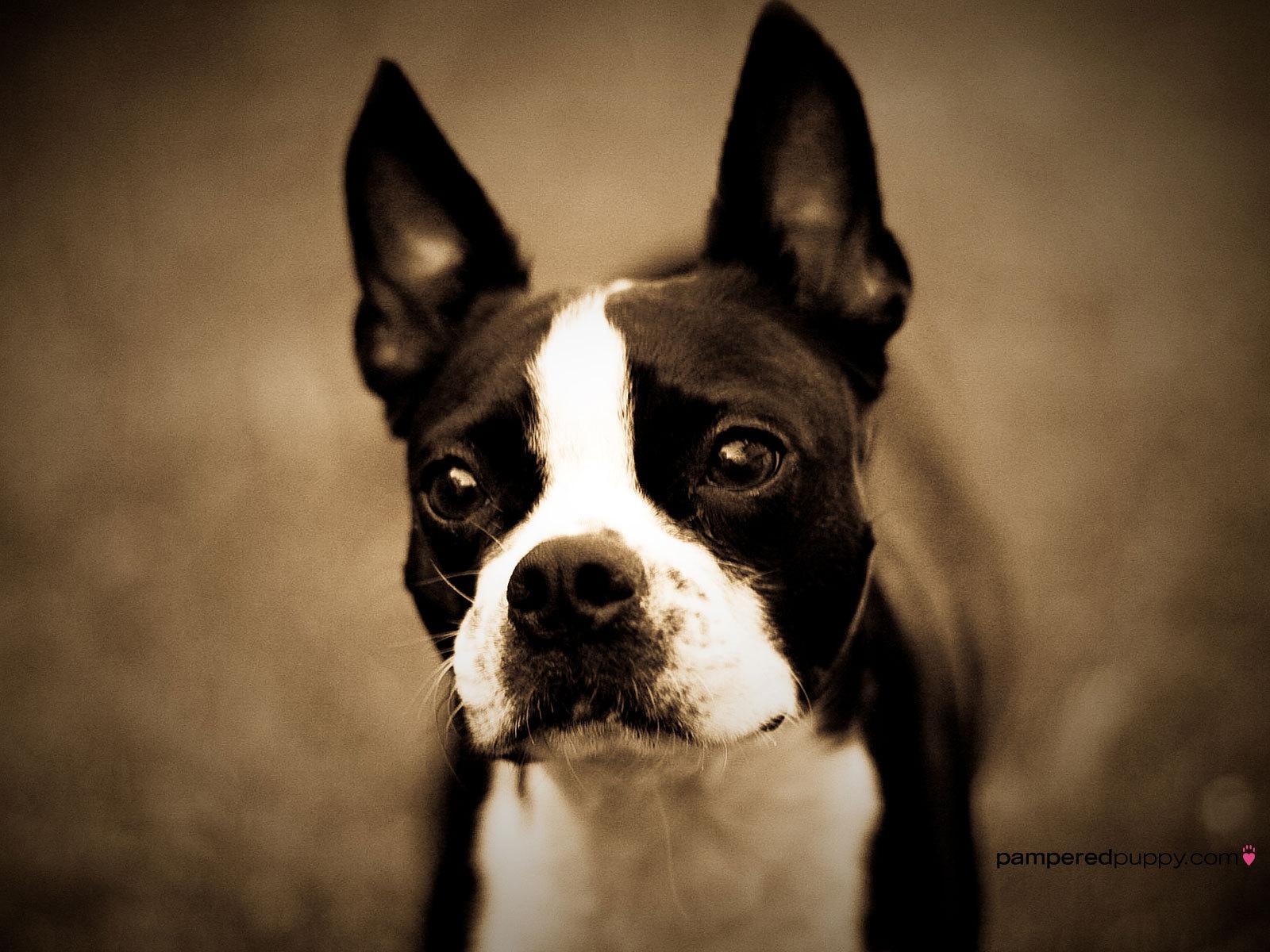 foto boston terrier: