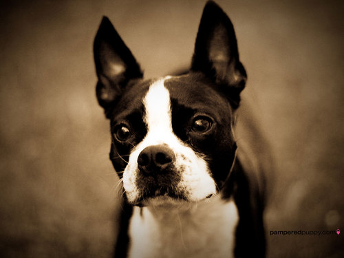 All Small Dogs wallpaper called Boston Terrier
