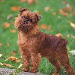 Brussels Griffon - All Small Dogs Photo (14496034) - Fanpop