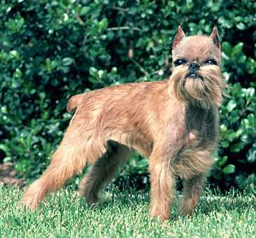All Small chó hình nền called Brussels Griffon