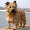 Cairn Terrier - all-small-dogs photo