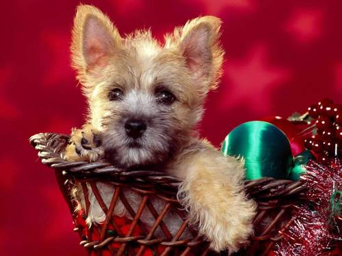 All Small Dogs wallpaper entitled Cairn Terrier
