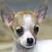 Chihuahua - all-small-dogs icon