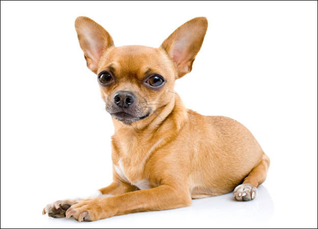 All small dogs chihuahua