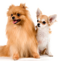 Chihuahua - all-small-dogs photo