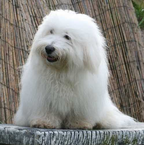 All Small Dogs wallpaper entitled Coton De Tulear
