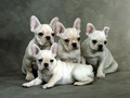 French Bulldog - all-small-dogs wallpaper