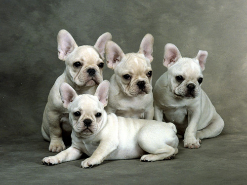 All Small chó hình nền entitled French Bulldog