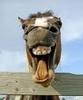 Horse teeth!