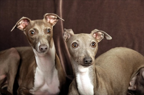 All Small Dogs wallpaper titled Italian Greyhound