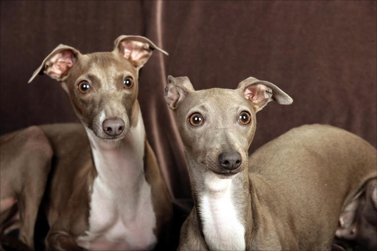 greyhound tiếng, italian greyhound, tiếng ý greyhound