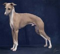 italian greyhound, italiaanse windhond