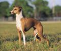 italian greyhound, italiaanse windhond