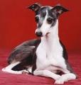 lévrier italien, greyhound italien