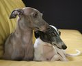 Italian Greyhound - all-small-dogs wallpaper