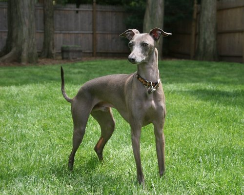 All Small chiens fond d'écran called Italian Greyhound