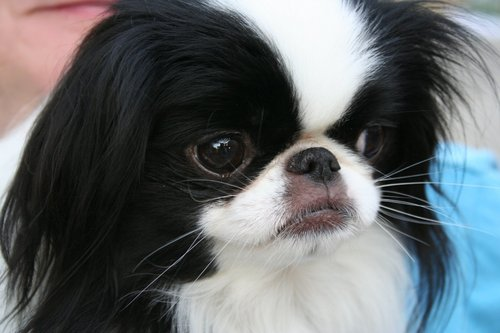 All Small Dogs wallpaper called Japanese Chin