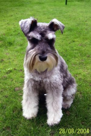 All Small Dogs achtergrond called Miniature schnauzer