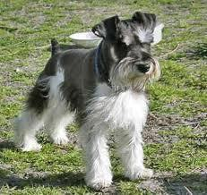 All Small Dogs wallpaper called Miniature Schnauzer