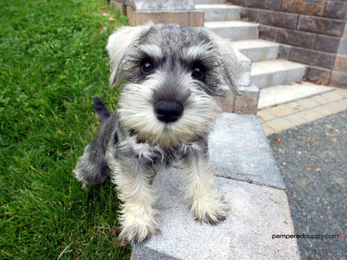 All Small Aso wolpeyper titled Miniature schnauzer