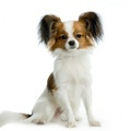 Papillon - all-small-dogs photo