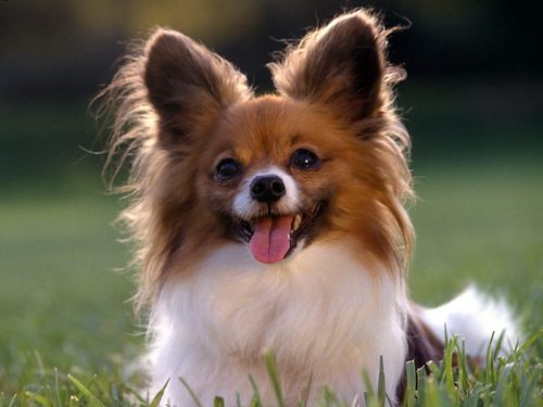 All Small Dogs wallpaper entitled Papillon