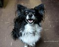 Papillon - all-small-dogs wallpaper