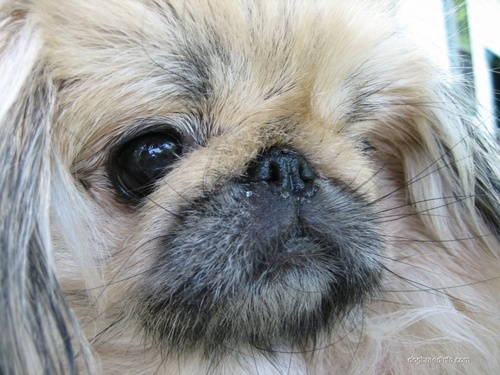 All Small Dogs wallpaper called Pekingese