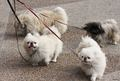 Pekingese - all-small-dogs photo