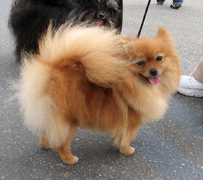All Small Dogs wallpaper entitled Pomeranian