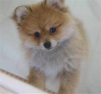 All Small Dogs wallpaper called Pomeranian