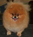 Pomeranian - all-small-dogs photo